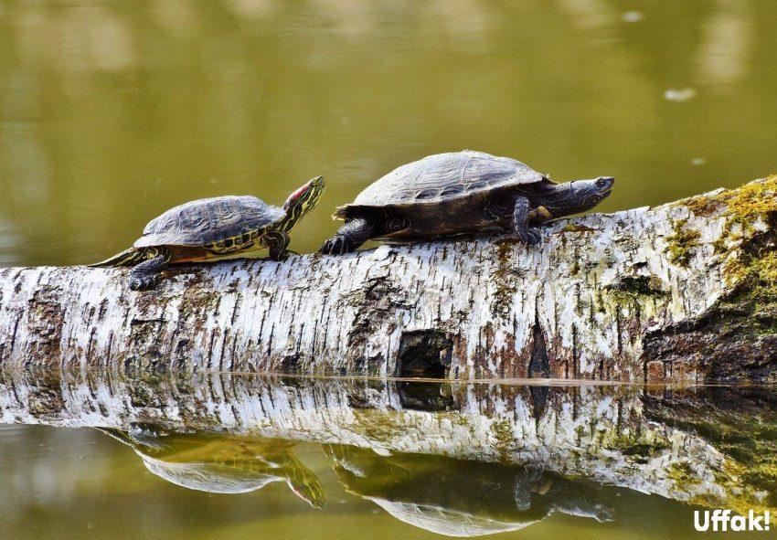 su kaplumbağaları